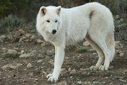 Canis-lupus6