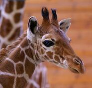 Giraffa-camelopardalis-reticulata2