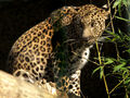 Panthera-pardus-fusca1