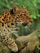 Panthera-pardus-japonensis6