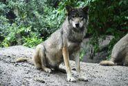 Canis-lupus-lupus7
