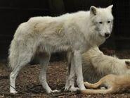 Canis-lupus-hudsonicus1