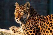 Panthera-pardus-japonensis3