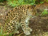 Panthera-pardus-orientalis3