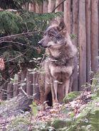 Canis-lupus-signatus3