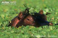 Hippopotamus-emerging-from-under-water-hyacinths