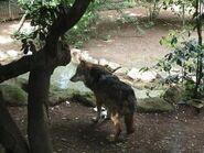 Canis-lupus-kurjak1