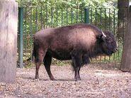 Bison-bison-athabascae1