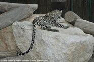 Panthera-pardus-nimr2