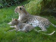 Panthera-pardus-saxicolor2