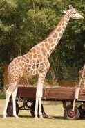 Giraffa-camelopardalis5
