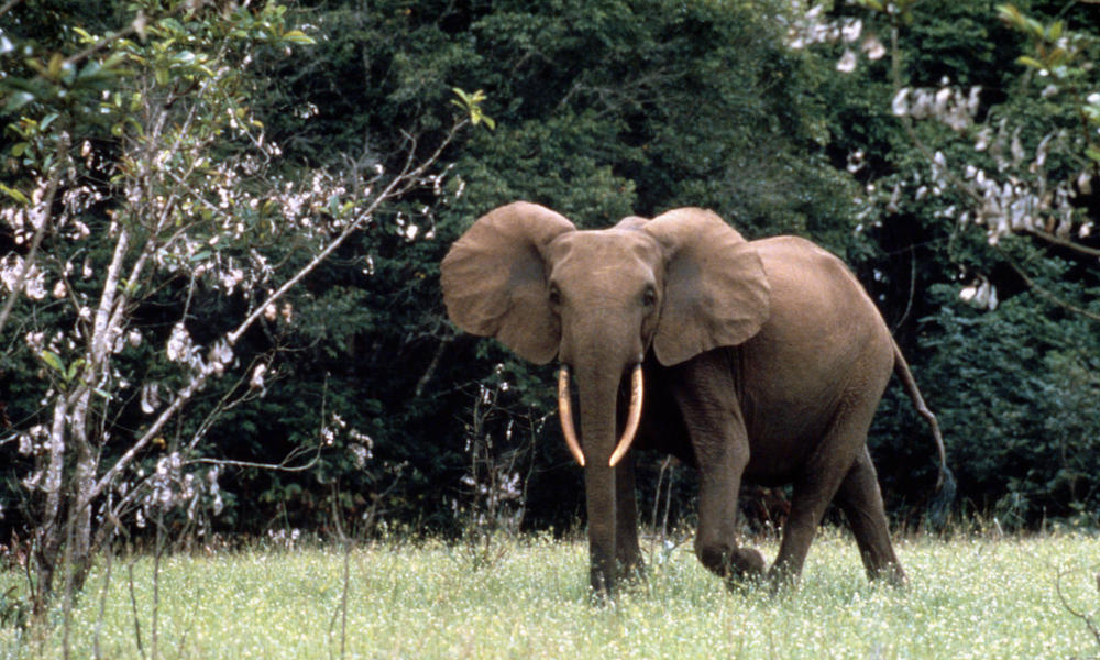 East African Forest Elephant