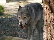Canis-lupus-occidentalis7
