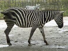 Equus-quagga-borensis5