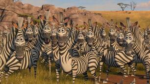 Plains-zebra-madagascar-2