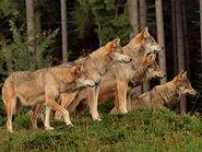Canis-lupus-lupus6