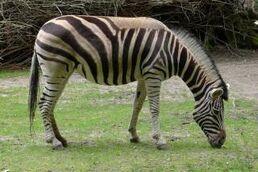 Equus-quagga-burchellii7