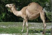 Camel, Dromedary.jpg