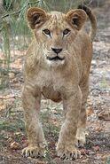 Panthera-leo2