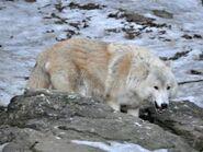 Canis-lupus-albus1