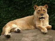 Panthera-leo-krugeri2