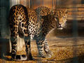 Panthera-pardus-melas6
