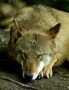 Canis-lupus-chanco3
