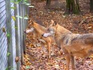 Canis-lupus-kurjak3