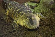 Alligator-mississippiensis3