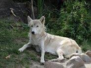 Canis-lupus-albus3