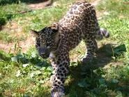 Panthera-pardus-saxicolor5