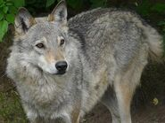 Canis-lupus4