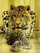 Panthera-pardus-melas7