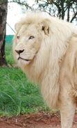 F746e9bec08f5149b4542adad542564e--white-lions-white-tigers
