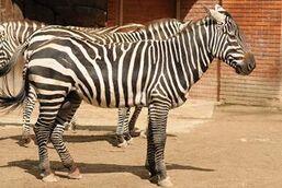 Equus-quagga-borensis1