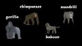 Gorilla, Chimpanzee, Baboon, and Mandrill