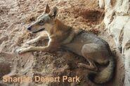 Canis-lupus-arabs1