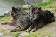 Canis-lupus-occidentalis6