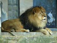 Panthera-leo7