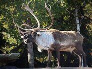 Rangifer-tarandus-caribou3