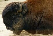 Bison-bison-athabascae7