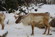 Rangifer-tarandus-caribou5