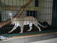Panthera-pardus-fusca4