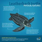 Leatherback Sea Turtle Anatomy .png