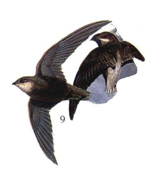 Ashy-tailed Swift