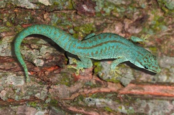 Assumption Island Day Gecko