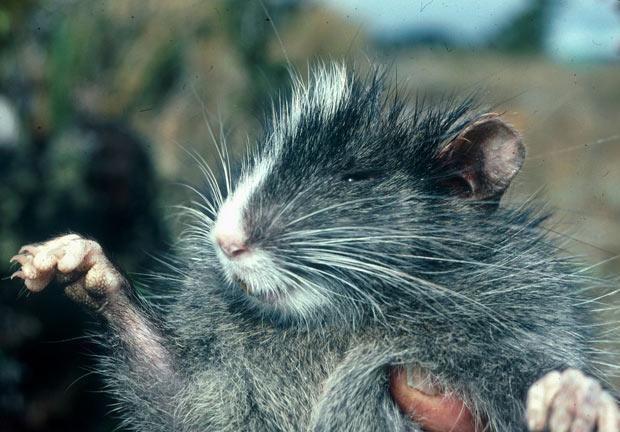 Asháninka Arboreal Chinchilla Rat