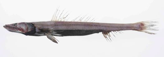 Deepsea Lizardfish