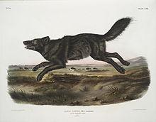 Florida Black Wolf