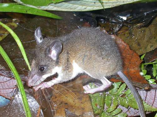 Fly River Water Rat